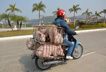 scooter-met-varkens